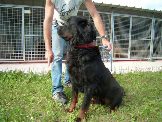 Sam croisé Rottweiler à poils longs - 4 ans - Refuge du Mord