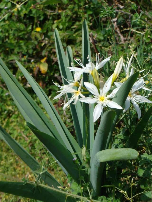 Plante end mique corse pancratium illyricum for Plante en n