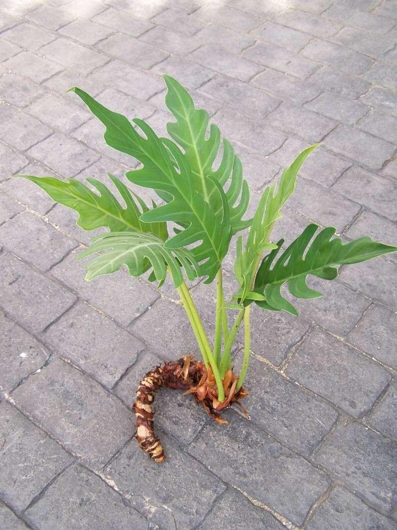 Philodendron pinnatifidum poussin - Bouture de patate douce ...